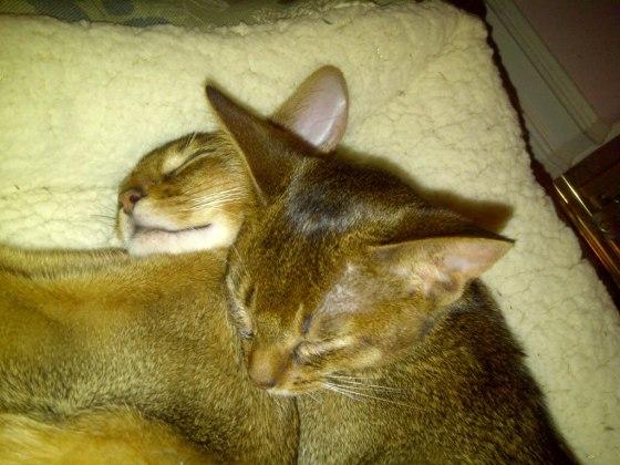 Abyssinian-kittens-1